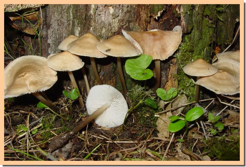 mycena galericulata.jpg