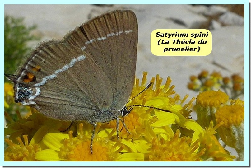 Satyrium spini1 _Thecla du prunelier_.jpg