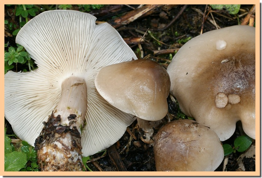 clitocybe clavipes2.jpg
