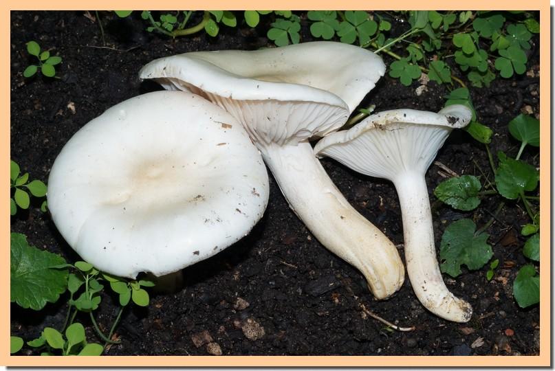 hygrophorus penarioides 2.jpg