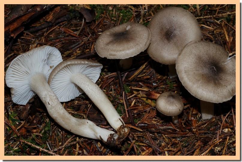 hygrophorus pustulatus2.jpg