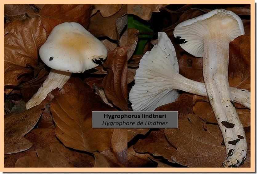 Hygrophorus lindtneri.jpg