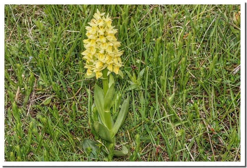 orchis sureau jaune.jpg