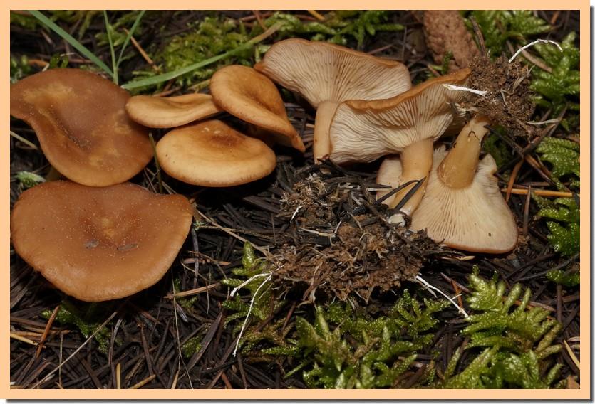 clitocybe vermicularis 20.jpg