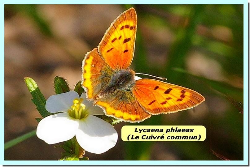 Lycaena phlaeas1 _Cuivre commun_.jpg