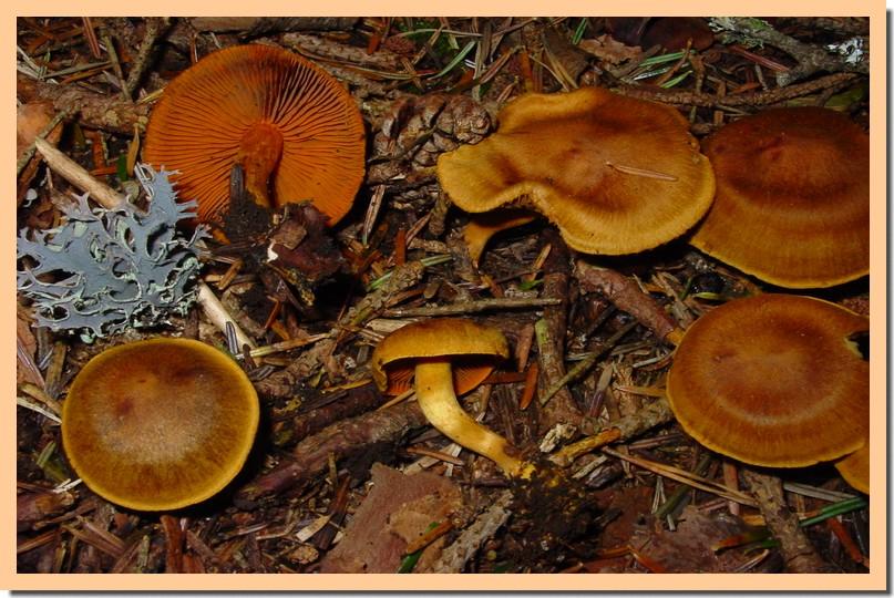 cortinarius cinnamomeus.jpg