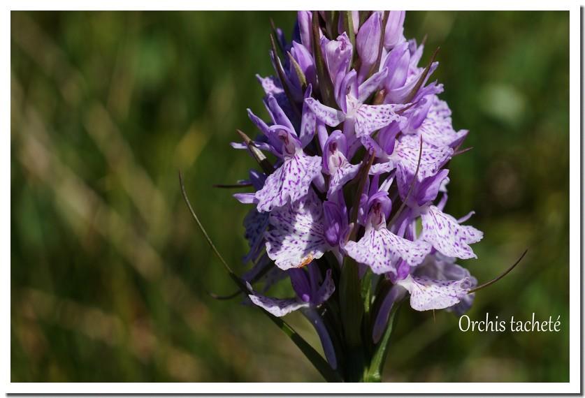 orchis tacheté.jpg