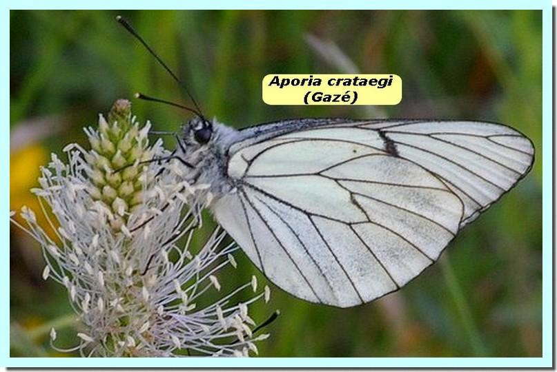 Aporia crataegi1a _Gaze_.jpg