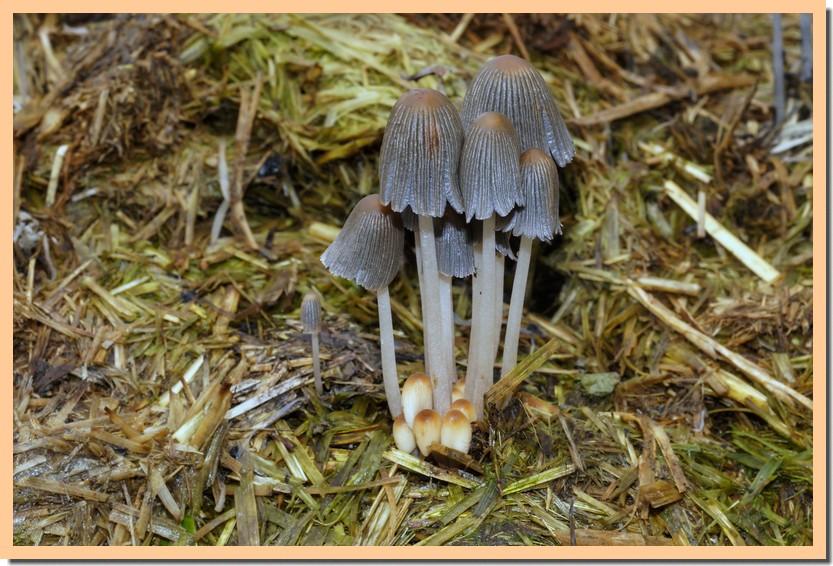 coprinellus bisporus 18.jpg