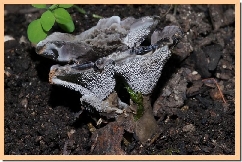 phellodon niger2.jpg