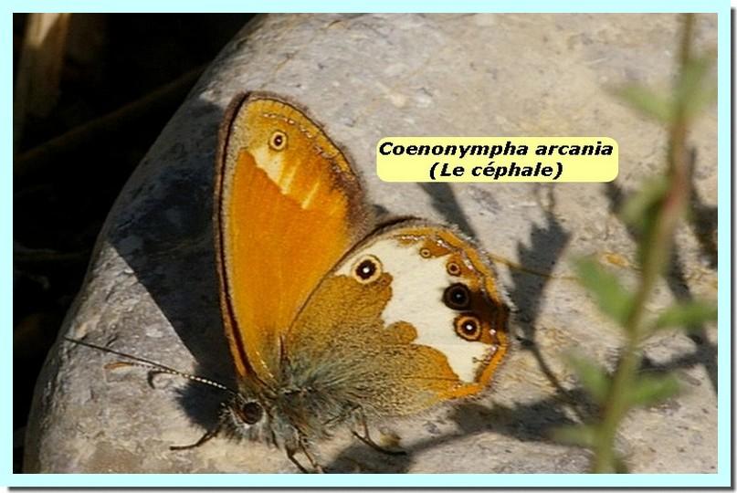 Coenonympha arcania1e _Le Céphale_.jpg