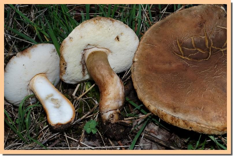 gyroporus castaneus3.jpg