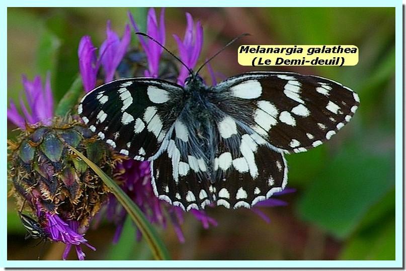 Melanargia galathea1 _Demi-deuil_.jpg