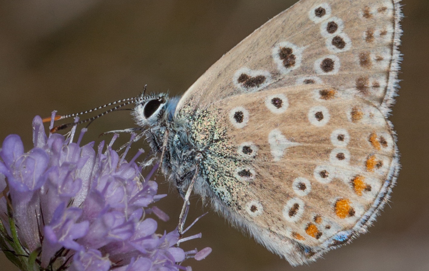 Polyommatus_icarus_2.jpg