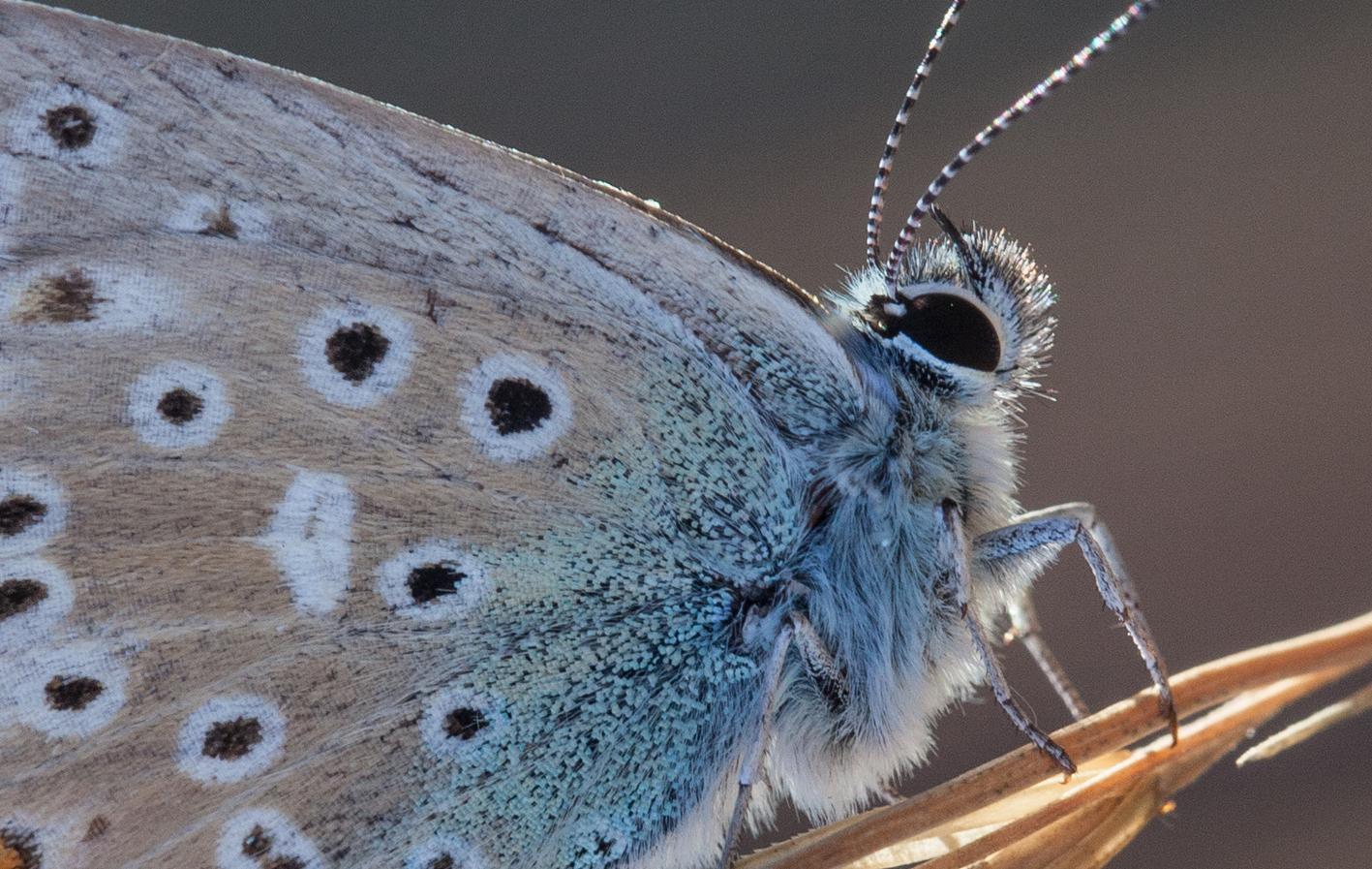 Polyommatus_icarus_1.jpg
