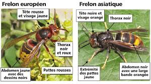 identifier le frelon asiatique.jpg