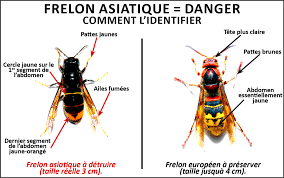 reconnaitre frelon asiatique.png