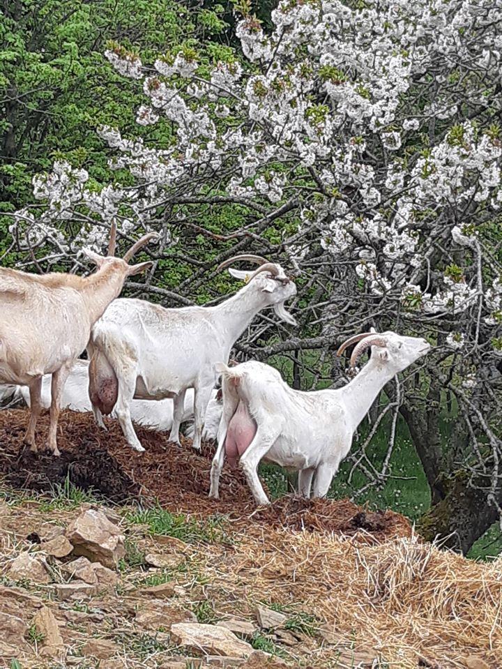 Chèvres buissonnières.jpg