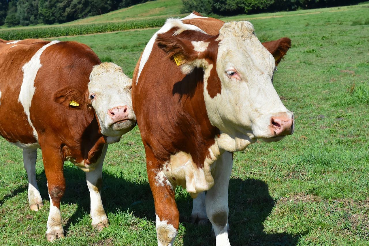 Agriculture bovine.jpg