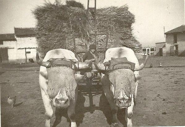Les bœufs voilés