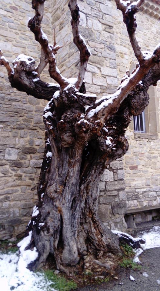 St Césaire murier.jpg
