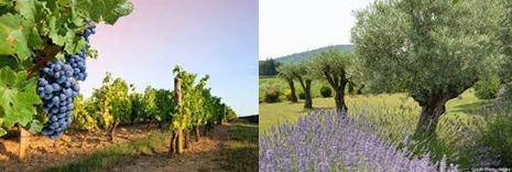 Entre vignes et oliviers.JPG