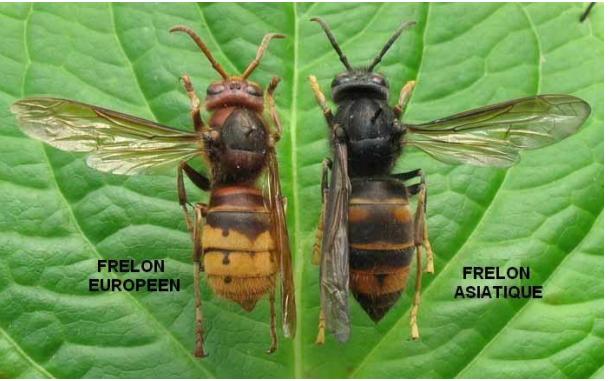 frelon asiatique.png