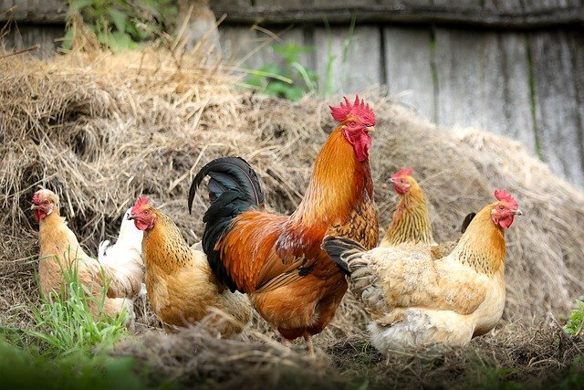 poulet_pixabay.jpg