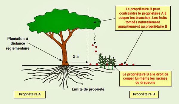 VOISINS distance-plantation-débordement-propriété arbre fruitier.jpg