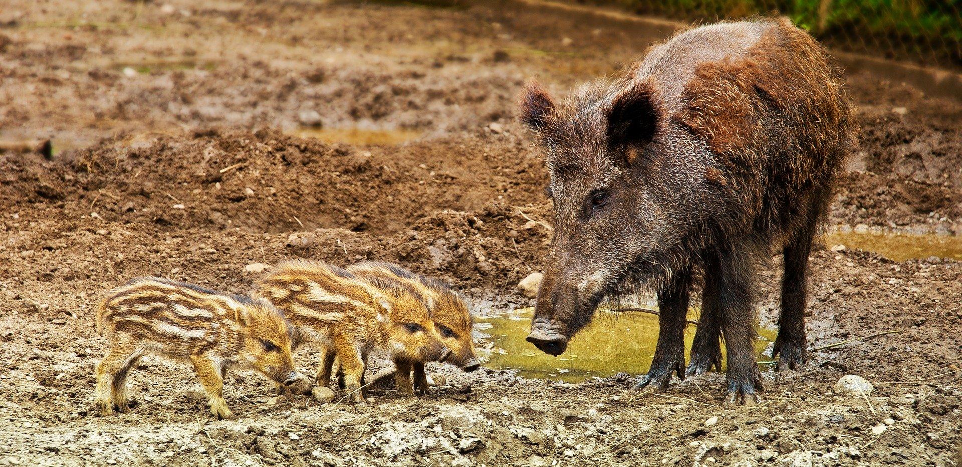 wild-boar-3481646_1920.jpg