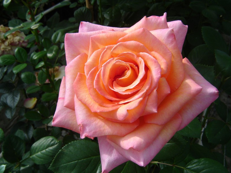 Toulouse Roses Production.jpg