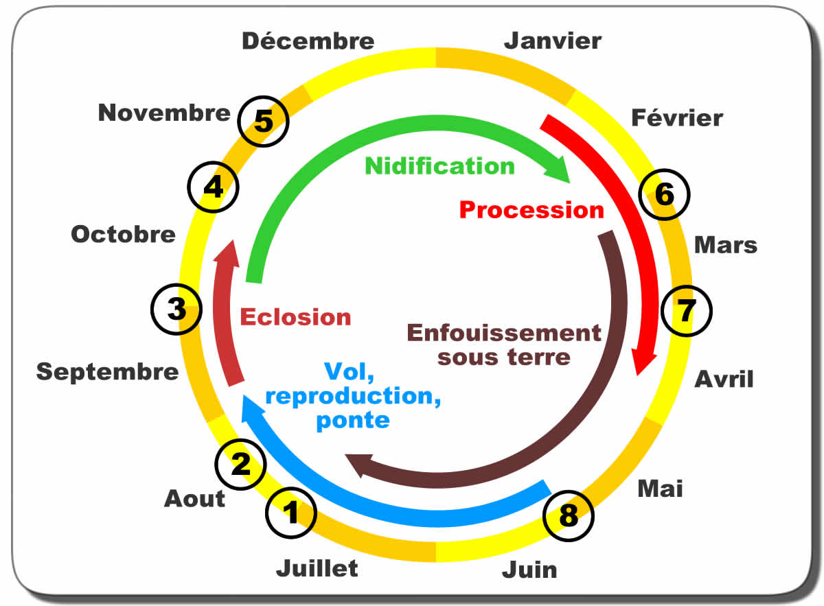 Cycle chenilles processionnaire.jpg