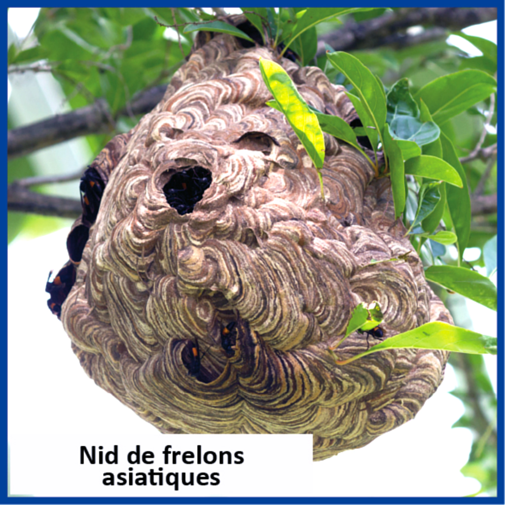 Nid frelon asiatique.jpg