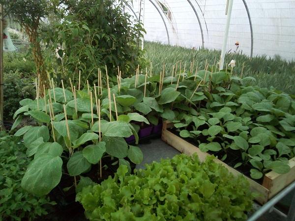 légumes prêts à planter mai 2020 _3_.jpg