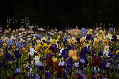 photo Iris-1.jpg
