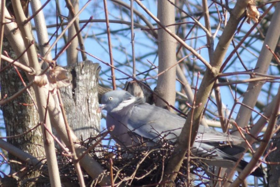 pigeon sentier pédestre.jpg