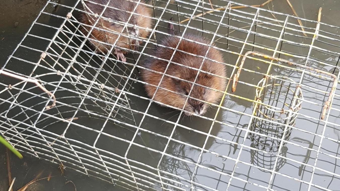 rat musqué.jpg