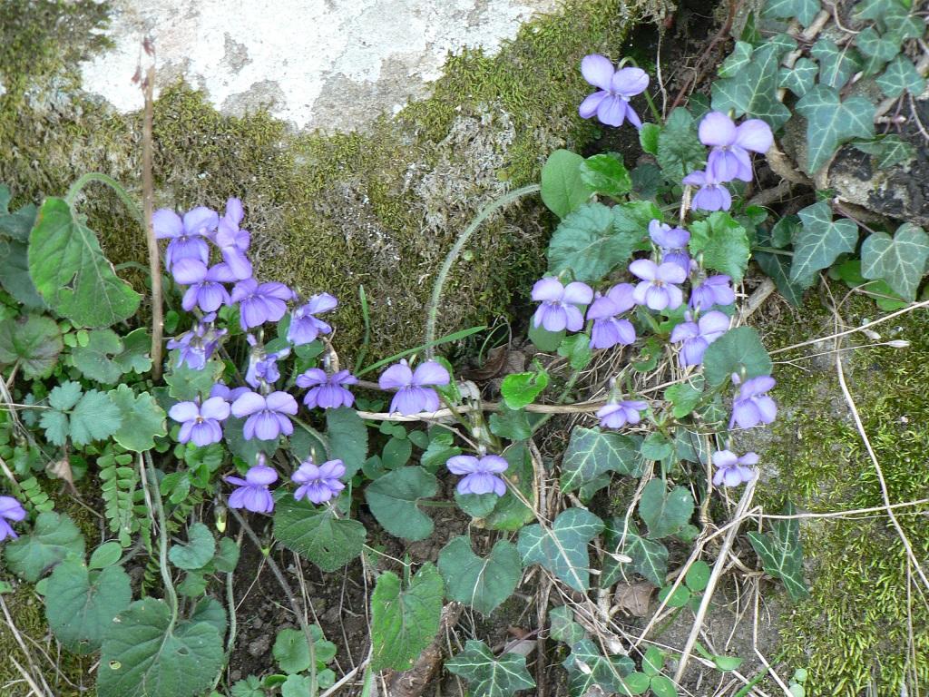 violettes peyremale.JPG