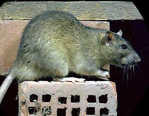 rat brun.jpg