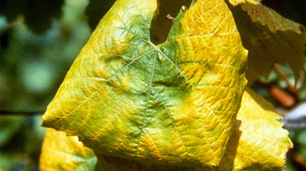 flavescence-doree-enroulement-des-feuilles-1024.jpg