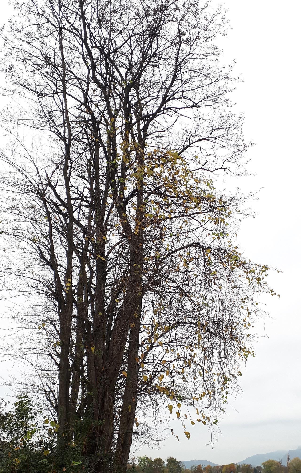 Vigne sauvage arbre.jpg
