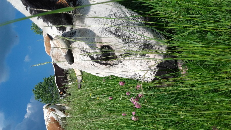 Chopat vache 2.jpg