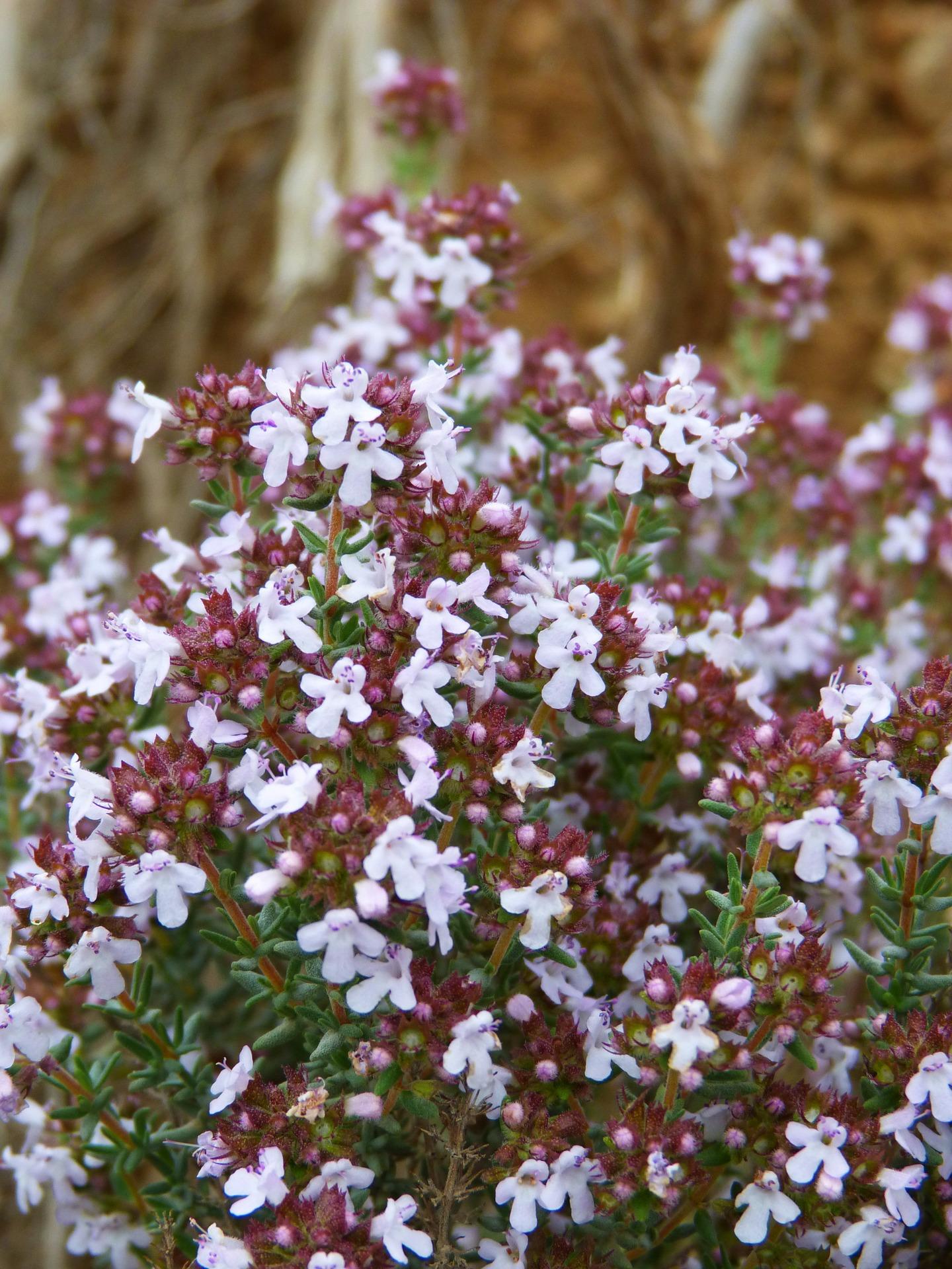 LGA - Plantes aromatiques - thym.jpg