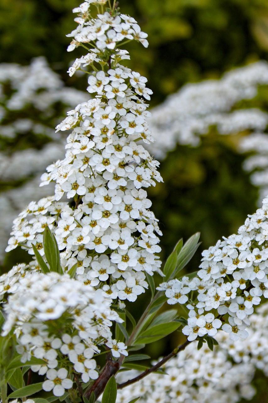 LGA - Plante aromatiques  - reine des prés.jpg