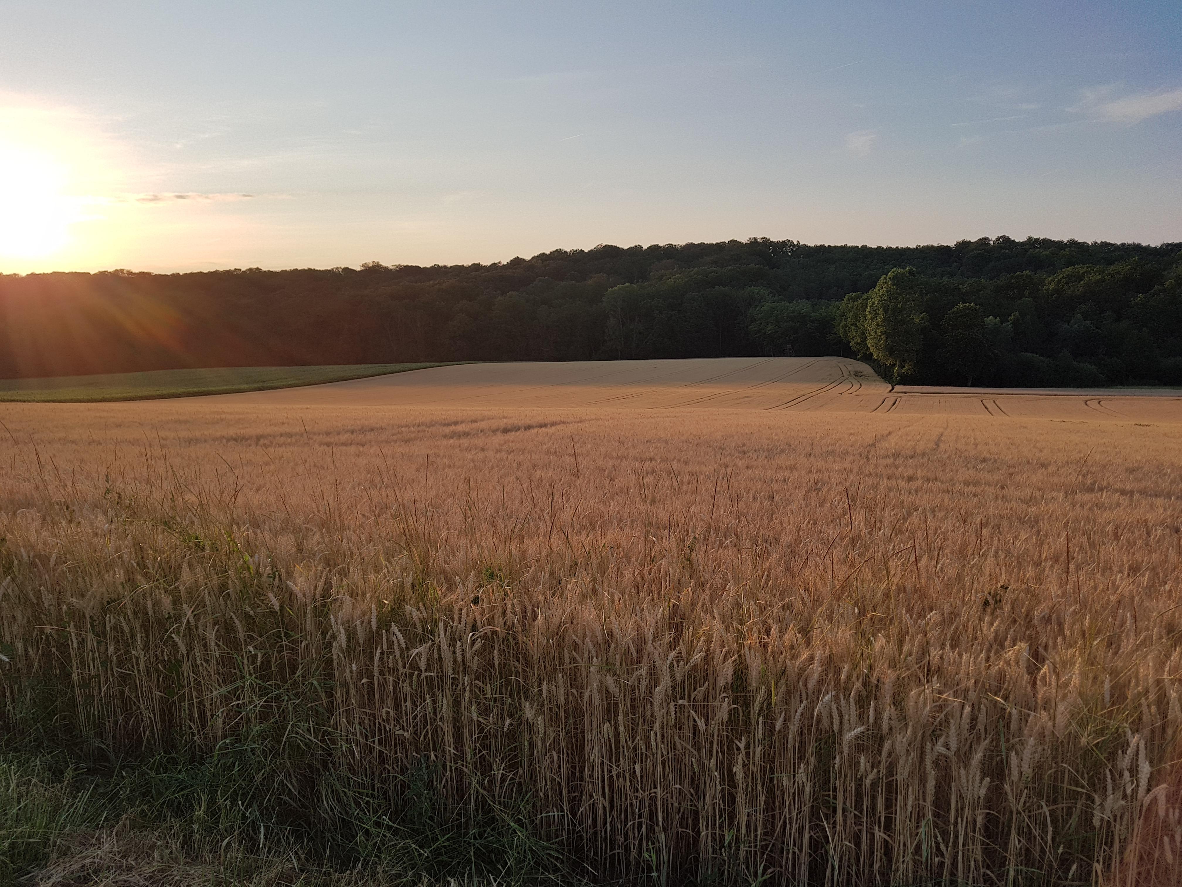 Champ de blé coucher de soleil.jpg