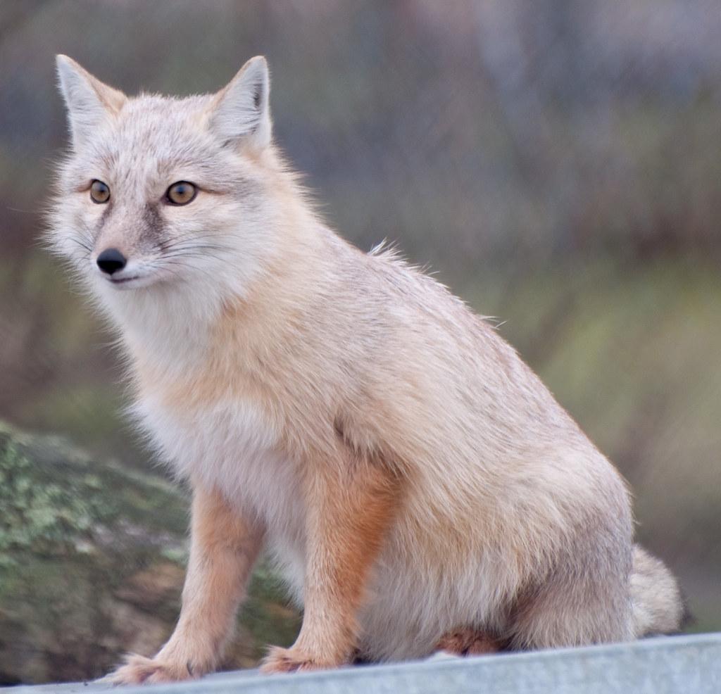 renard blanc.jpg