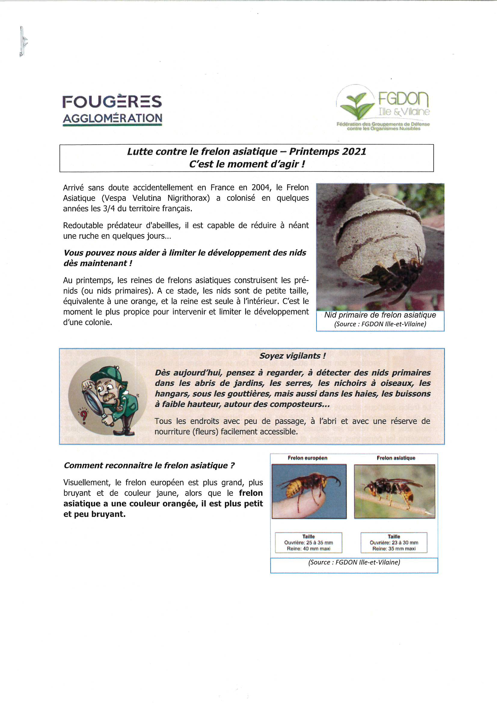 Frelon asiatique 1.jpg