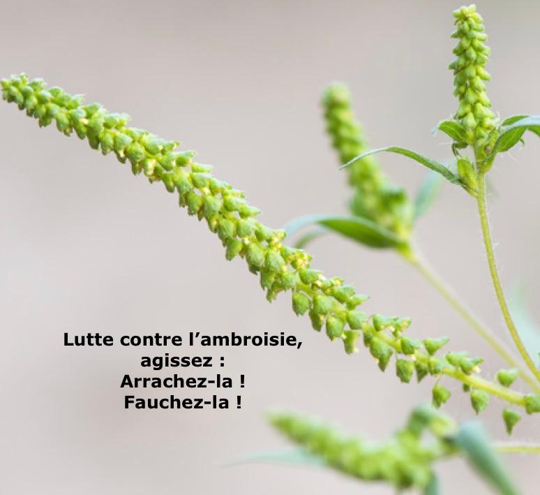 _ambroisie.png