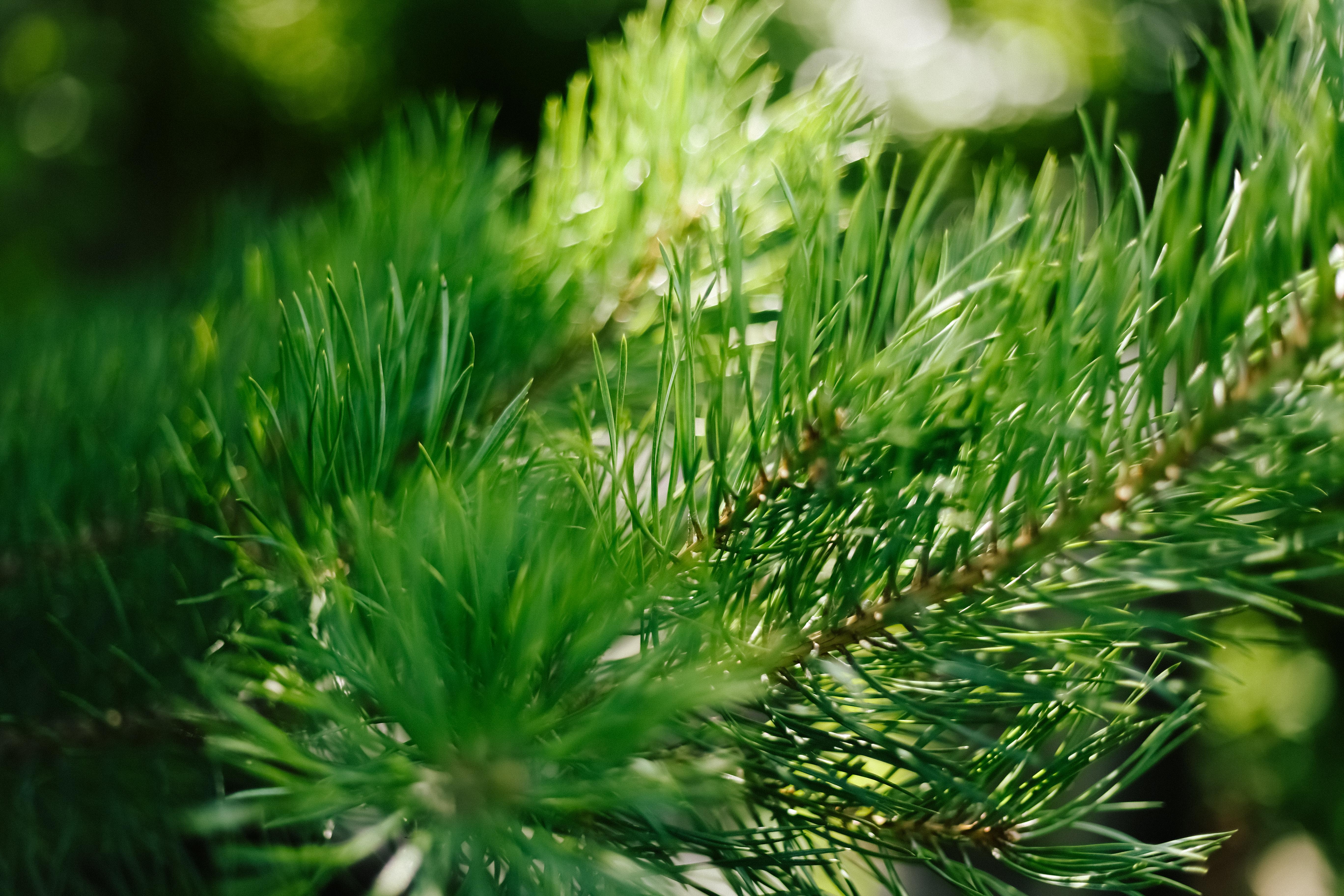 closeup-photo-of-green-needle-pine-tree-blurred-pine-needles-in-background.jpg
