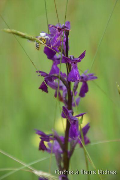 Orchidées1.JPG